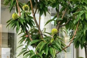 漱石山房記念館にある栗の木