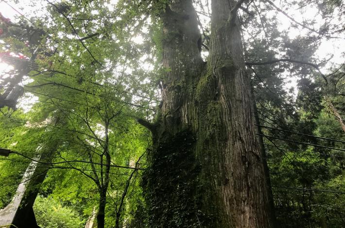 御岳山の参道入口にある大木