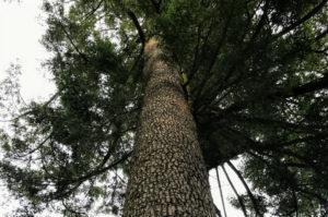 檜原都民の森のもみの木