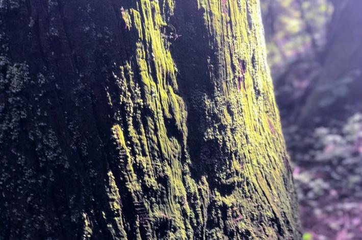 御岳山へ徒歩の参道の大きな杉の木にキレイな苔が生えている