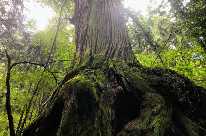 御岳山へ徒歩の参道の大きな杉の木の様子
