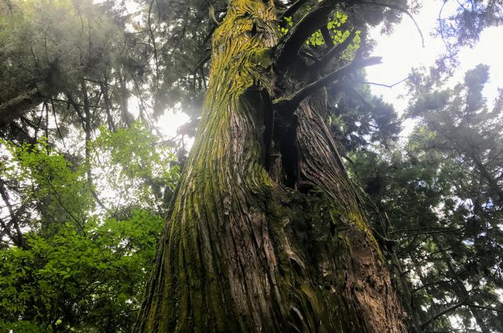 御岳山へ徒歩の参道の大きな杉の木を見上げた様子