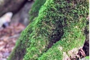 檜原都民の森で見つけた木の根の苔