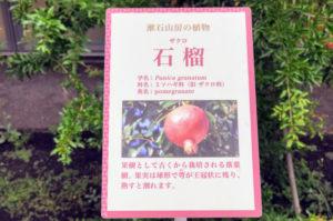 漱石山房記念館にあるザクロの木の説明パネル