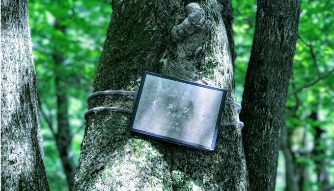 檜原都民の森にあるブナの木