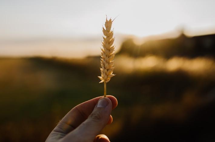 麦をもっている手